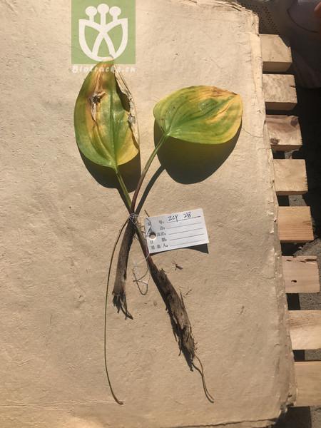 Alisma plantago