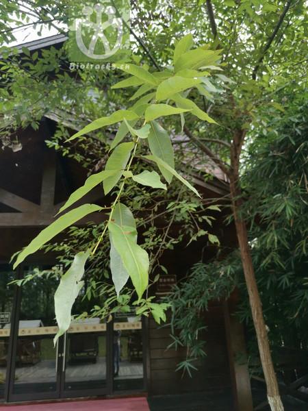 Salix warburgii