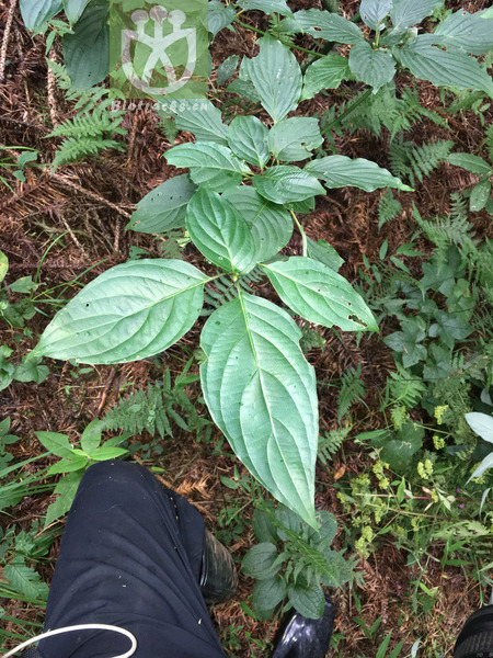 Swida macrophylla