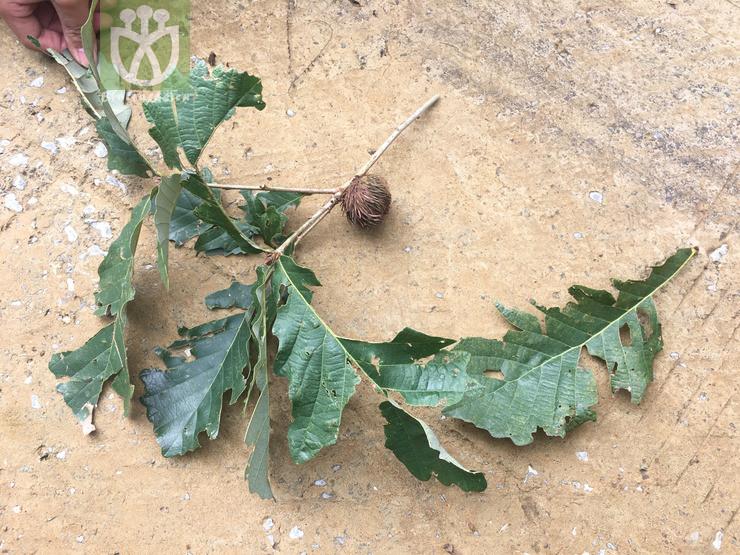 Quercus pinnatifida