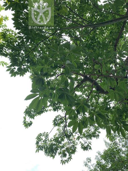 Aesculus chinensis var. chinensis