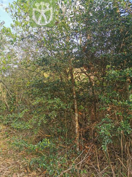 Syzygium sp.