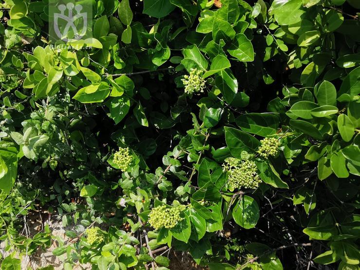 Premna obtusifolia