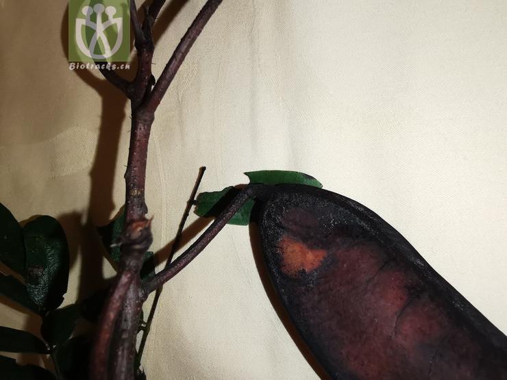Gymnocladus chinensis