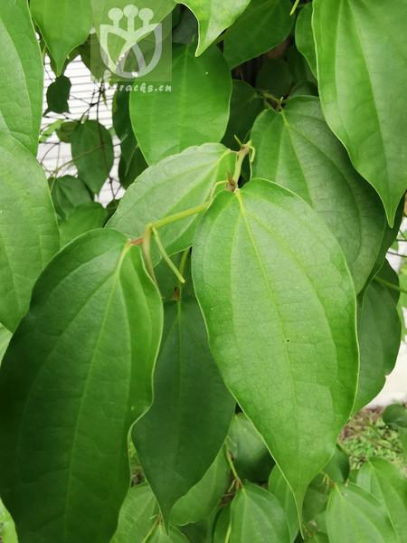 Piper austrosinense