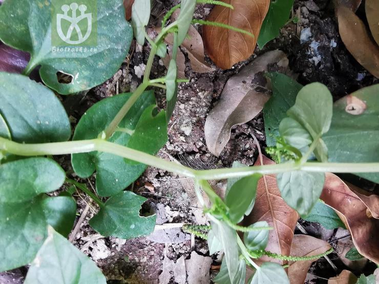 Micropiper pellucidum