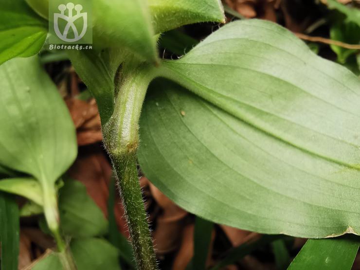 Commelina delicatula