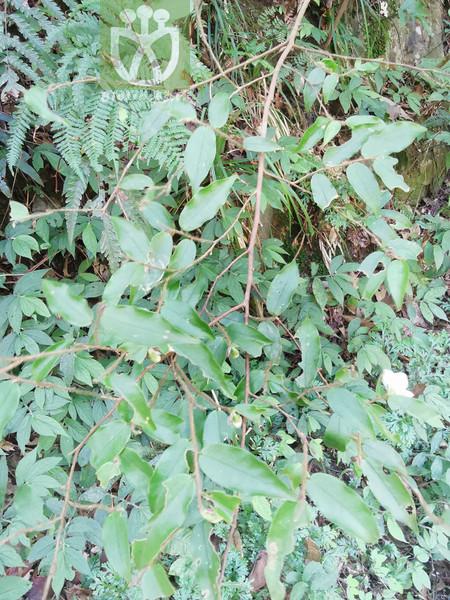 Halesia macgregorii