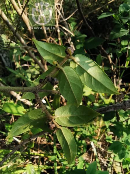 Podocarpus forrestii
