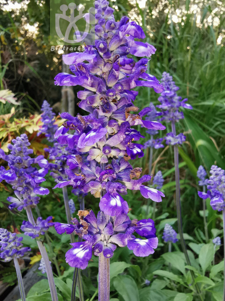 Salvia japonica