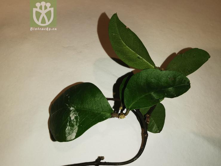 Daphne indica
