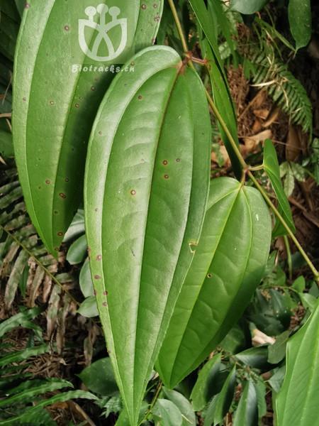 Sinosideroxylon pedunculatum var. pubifolium