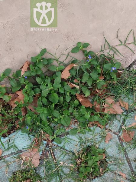 Commelina radiciflora