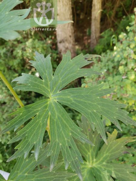 Aconitum sinomontanum
