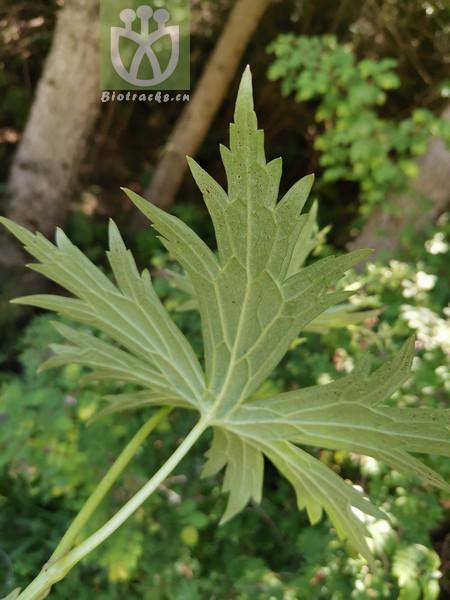 Aconitum sinomontanum var. sinomontanum