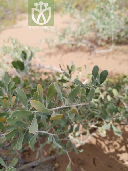 Nitraria tangutorum