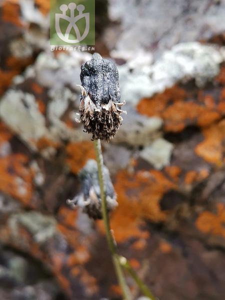 Cremanthodium ellisii