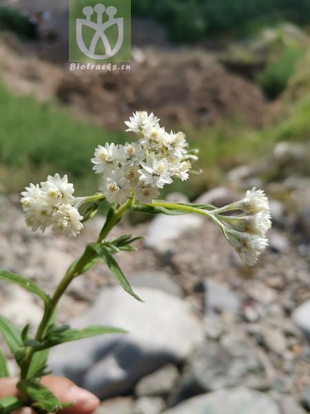 Anaphalis flavescens