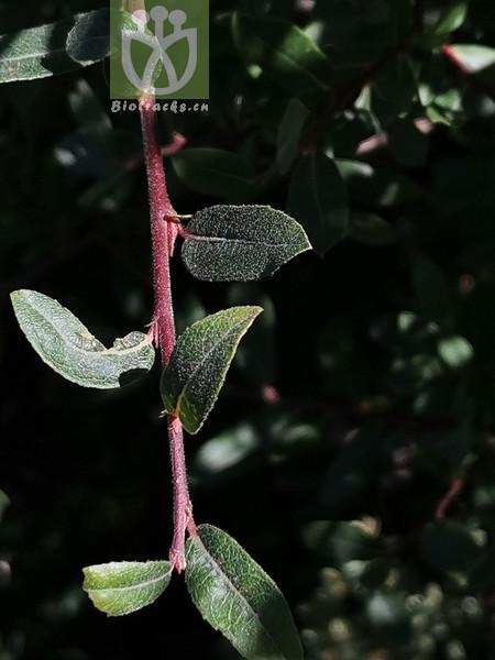 Salix biondiana