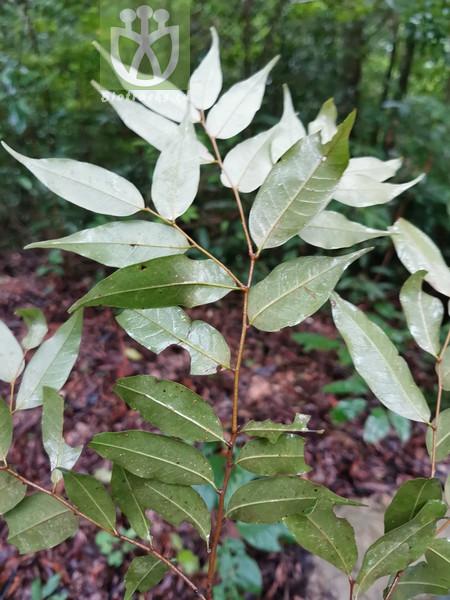 Quercus stipitata