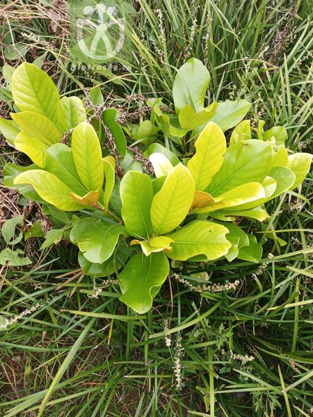 Magnolia grandiflora var. ferruginea