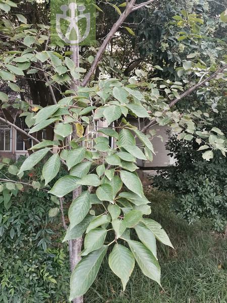 Aucuparia sylvestris