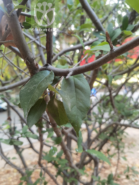 Casearia multiflora