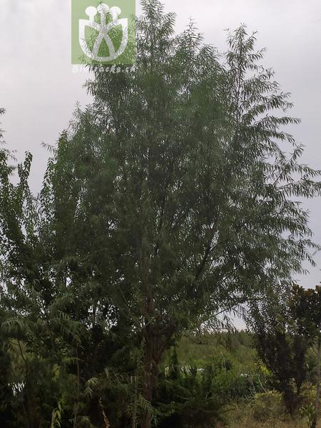 Salix matsudana