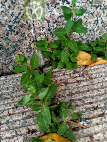 Origanum vulgare var. heracleoticum