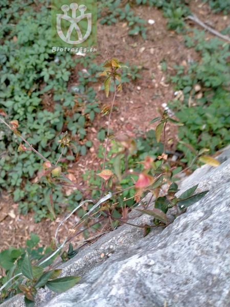 Acalypha minima