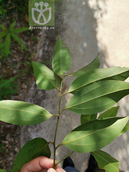 Aconitum dissectum