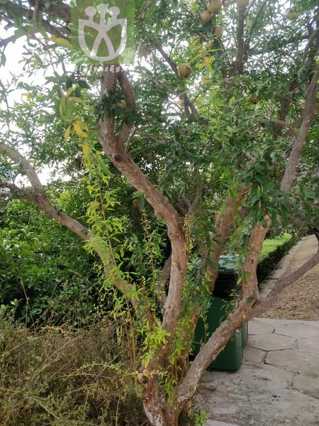 Cycas changjiangensis