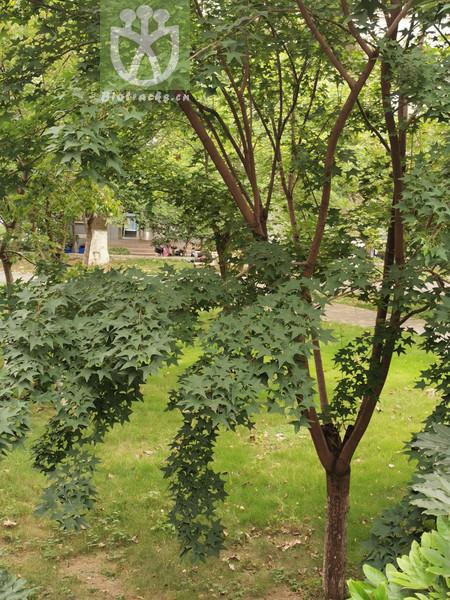 Acer shenkanense