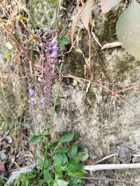 Salvia sinica