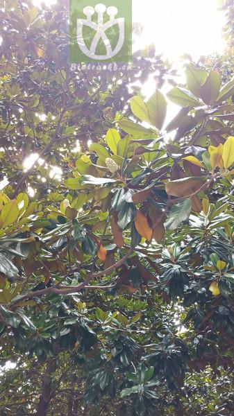 Magnolia rotundifolia