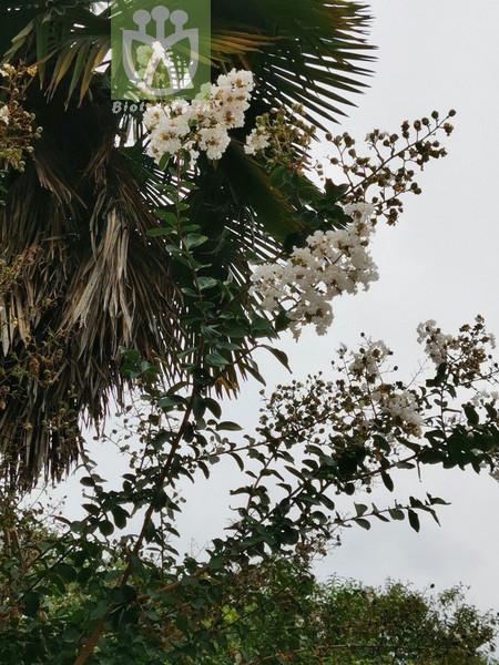 Adonis aestivalis var. parviflora