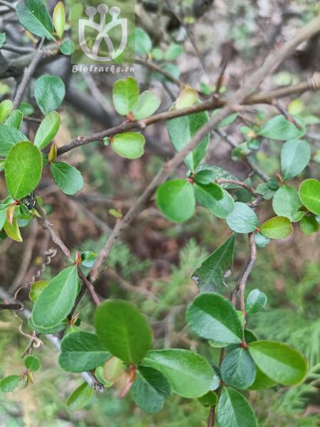 Maytenus royleanus