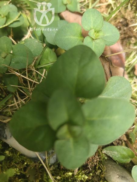 Micromeria formosana