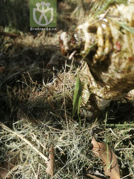 Acacia horridula
