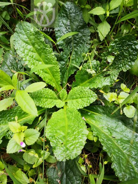 Salvia plebeia