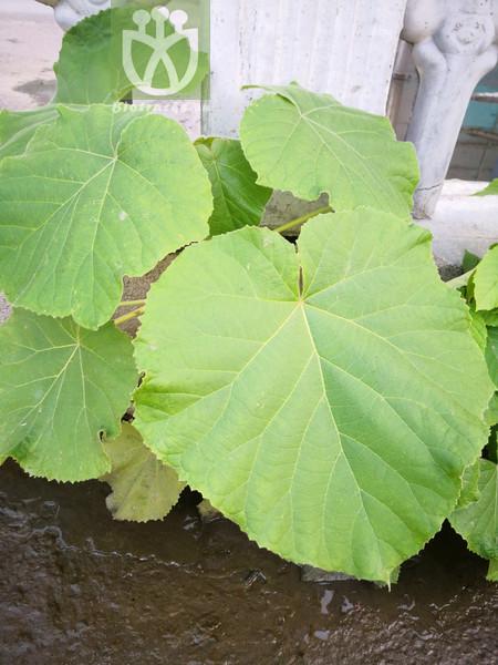 Lithocarpus pasania