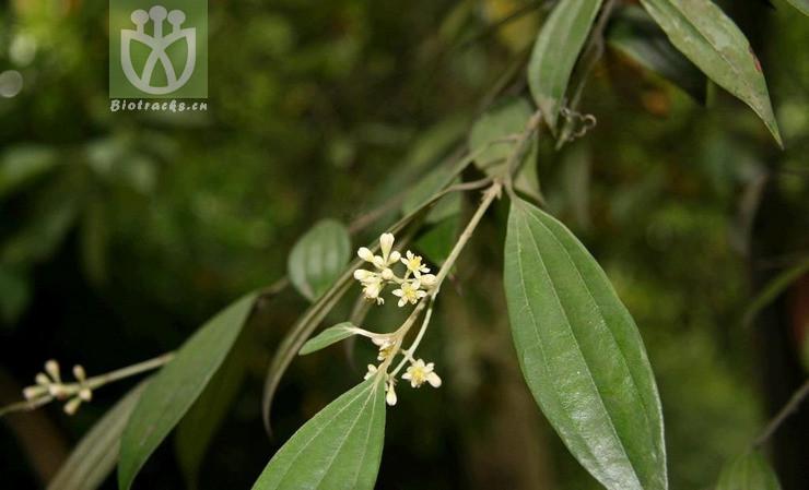 Cinnamomum ridleyi