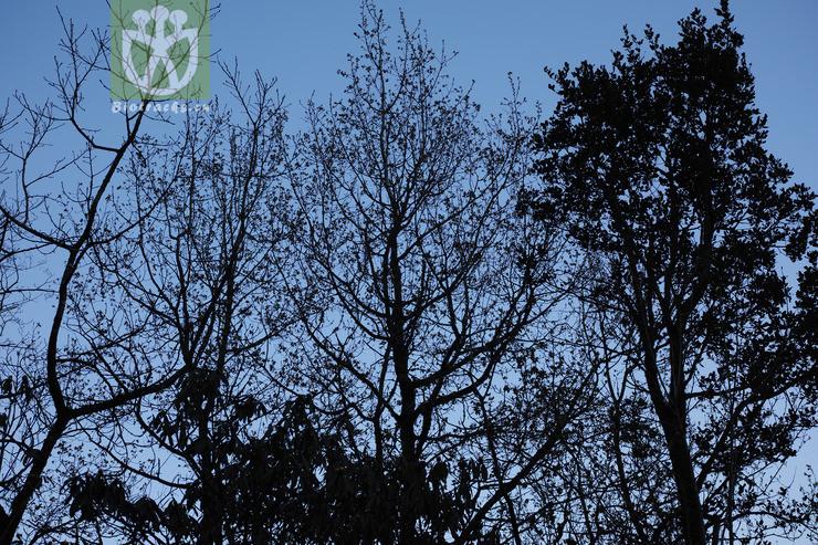 Populus davidiana