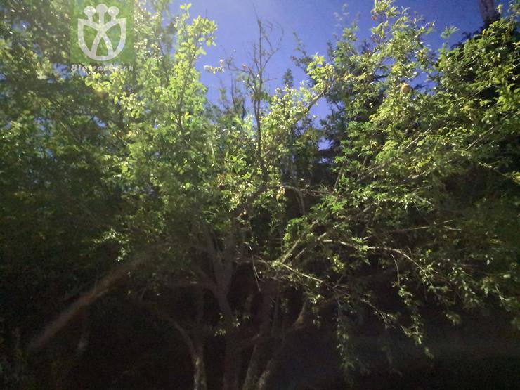 Salix babylonica var. szechuanica