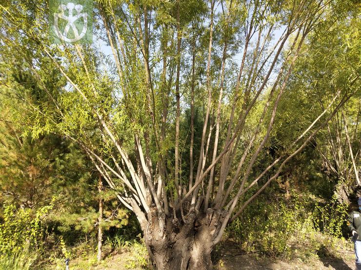 Salix jeholensis