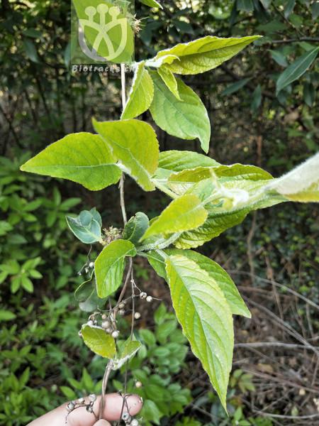 Phyllanthus caudatifolius