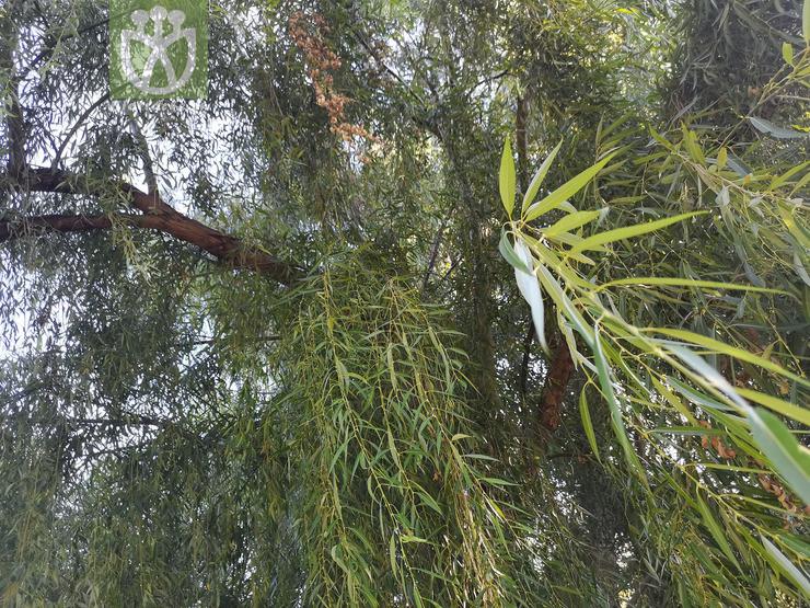 Salix ohsidare