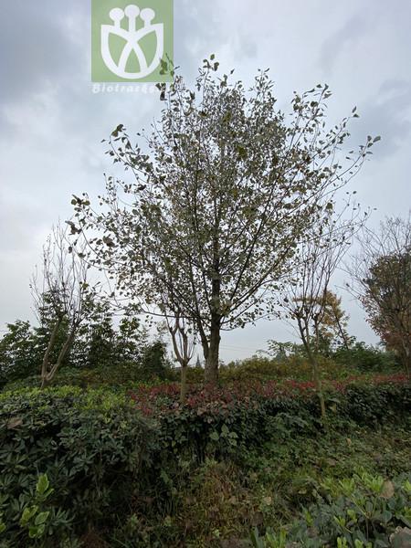 Populus nivea