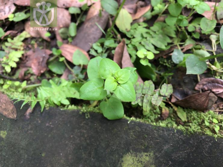 Origanum stoloniferum