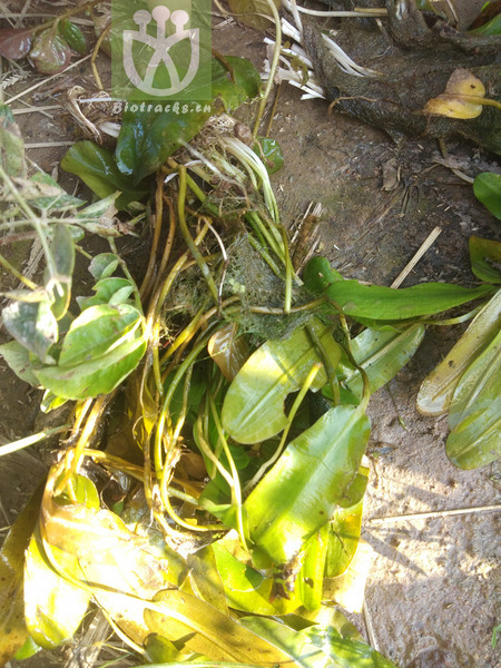 Potamogeton distinctus